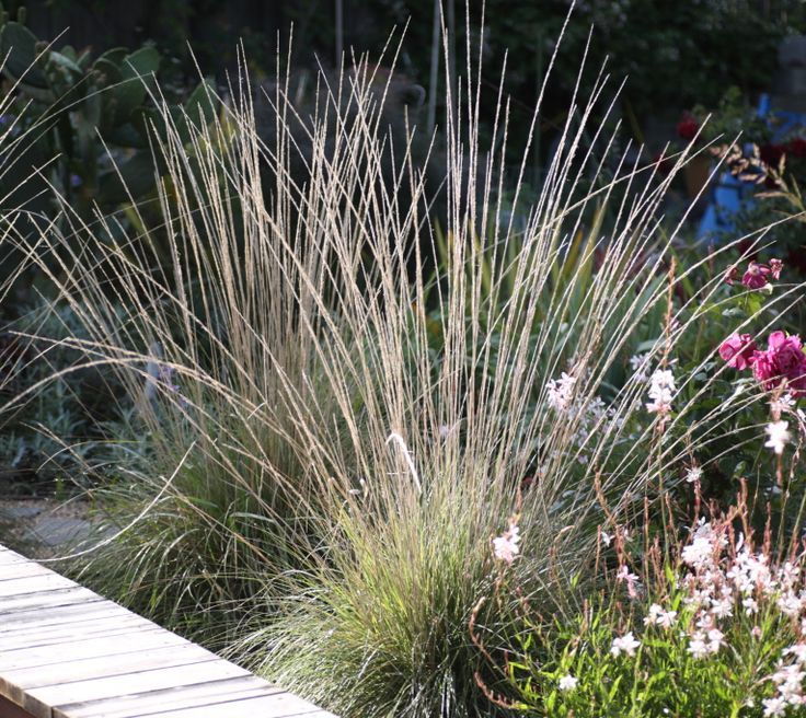 Mulengergia rigens ornamental grass perennial meadows for Blue ornamental grass varieties