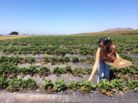 """Recolección de fresas. Descubre la bella experiencia de #recolectar #fresas en #California #EstadosUnidos en nuestro #post """"Campos de fresas y #Highway1 California, nada parece real"""" #BerryPicking #Strawberry #Blog #Viajes #travel"""