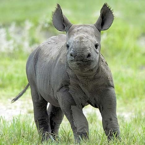 Baby Rhino - so adorable!