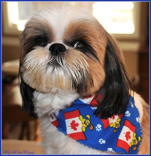 images of shih tzu haircuts 118 best images about shih tzu haircuts on pinterest 1346