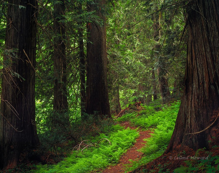 Red Cedar Forest ~ Images about tattoo on pinterest watercolors