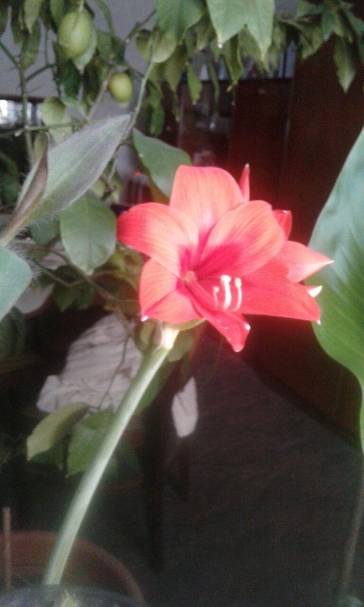 Szobai virágoskertem dísze az amarillisz