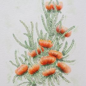 Original art for sale by Judy LaMonde. Showy Dryandra an Australian Bush Flower - original for sale - make an offer at http://www.artinvesta.com/artwork/71 - see more work in my gallery. Australia, bush, outback, flowers, yellow, flora, green, botanical, pen and ink, watercolours, German rag paper