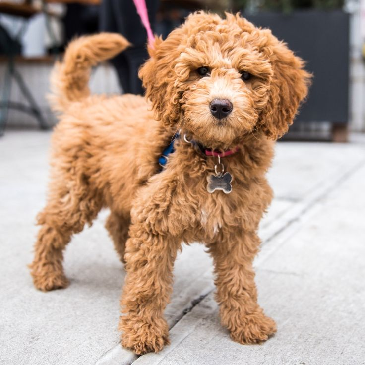 "Rory, Miniature Goldendoodle (3 m/o), Kenmare & Cleveland Pl., New York, NY • ""When she gets scared of the vacuum cleaner, she hides between the wine bottles. It's her safe place."""