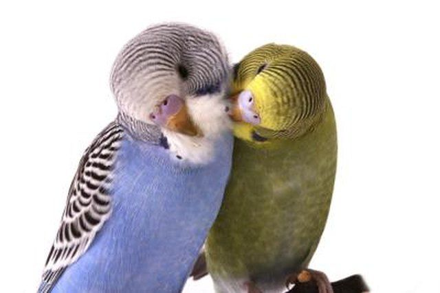 How To Tell If A Parakeet Is Male Or Female Cuteness Parakeet Parakeet Colors Parakeet Names