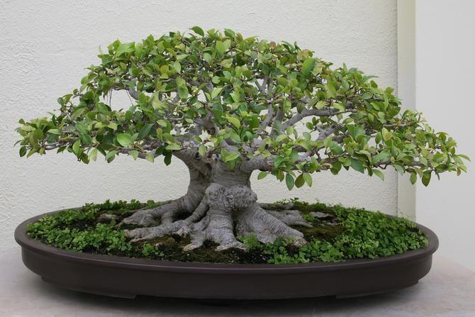 Entretien du Bonsaï Ficus http://www.maitre-bonsai.fr/espece/bonsai-ficus/