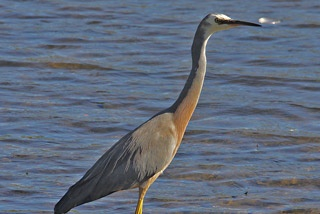 The White-faced or Blue Heron is the most common heron in Australia. The success of this long-necked smoke-grey bird with its distinctive white face and yellow-green legs is probably due to the fact that it is a generalist, both in habitats and feeding. Known to the Noongar as Jillee-milyun, it can be seen foraging in most shallow waters, be they fresh, brackish or salty, natural or man-made – as well as mudflats, pastures, residential lawns and even backyard goldfish ponds.