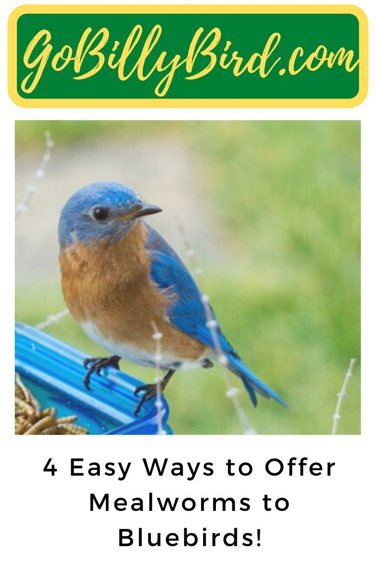 how to attract bluebirds with mealworms