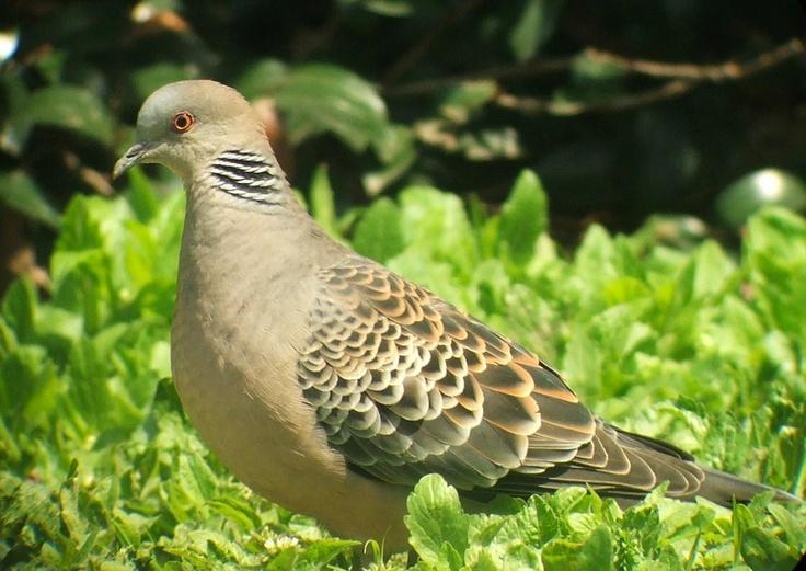 Rufous (Oriental) Turtle Dove