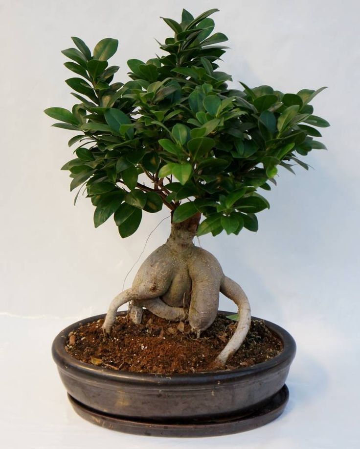 die besten 25 ficus ginseng bonsai ideen auf pinterest. Black Bedroom Furniture Sets. Home Design Ideas