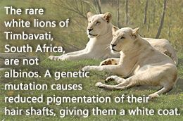 White Lion Facts | Coats, Lion and Lion facts