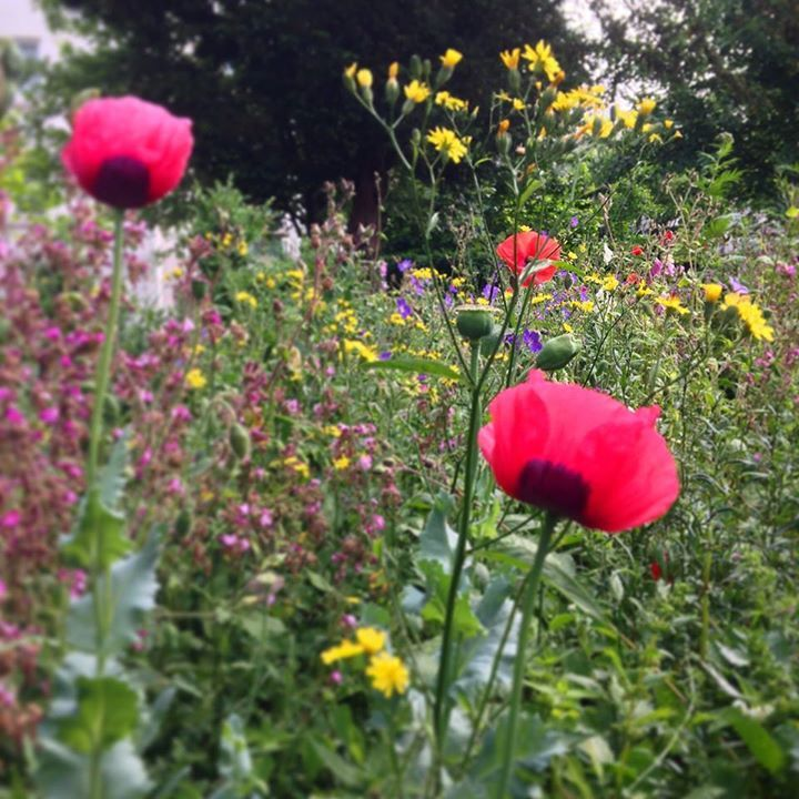 Here's a trick, let a few weeds grow. The flower mead of intent is waning on the run up to the longest day of the year. Stitched through with geranium, foxglove, campion, campanula, field and opium poppy and lychnis. https://www.facebook.com/murrayedwards.garden?fref=nf