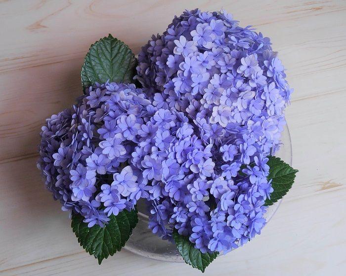 紫陽花 の 挿し木 の 方法