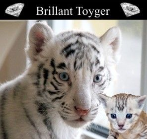 17 Best Images About Toygers And Bengals Oh My On