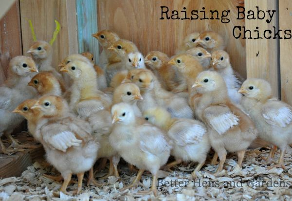 It's spring - how to successfully raise day-old chicks.