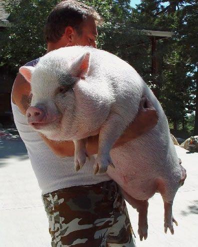 SCAMPP_Southern_California_Association_Miniature_Potbellied_Pigs-Teacup_Pigs
