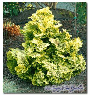 Dwarf Golden Hinoki False Cypress C Obtusa Nana Lutea