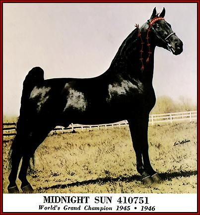 The champion of champions, the most amazing Tennessee Walking Horse that ever lived: Midnight Sun.  All natural and gorgeous gait.  Wish we could bring this quality back to our breed.