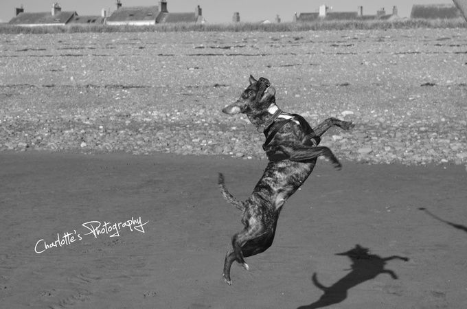 """Photo """"JumpingStaffie"""" by charlottesphotography"""