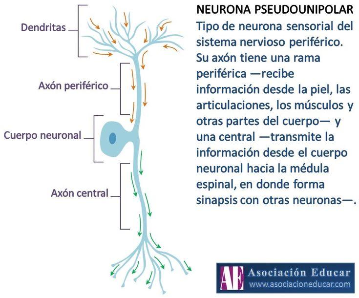 Infografía Neurociencias: Neurona Pseudounipolar.   Asociación Educar
