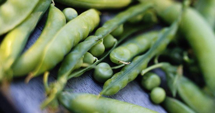 Como plantar feijão verde e ervilhas em vasos. Ervilhas e feijões verdes podem produzir uma boa colheita mesmo quando cultivados em vasos. Em muitos casos, as plantas demoram a germinar, mas uma vez passado o período de germinação, o crescimento em vasos se dá de maneira eficaz. Você também pode estar sempre replantando as leguminosas à medida em que os espécimes mais velhos começam a morrer. ...