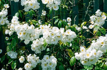 RHS Plant Selector Rosa 'Bobbie James' (Ra) AGM / RHS Gardening, to 30', fragrant
