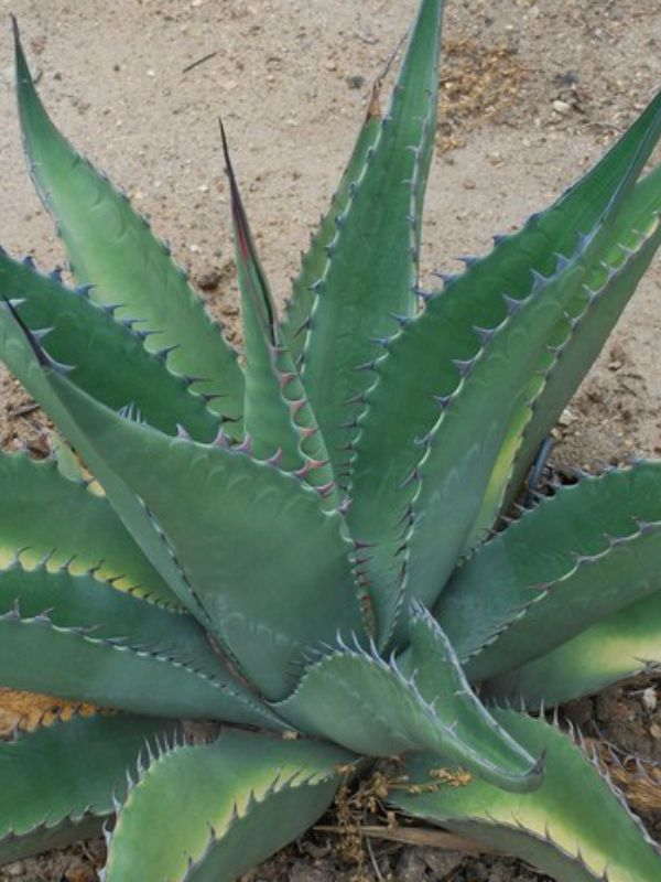 Agave asperrima – Rough Agave - See more at: http://worldofsucculents.com/agave-asperrima-rough-agave/