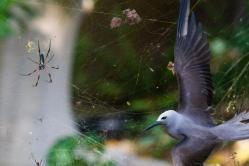 En mayo estas aves australianas se dirigen a tierra, para desovar. Su llegada a la pequeña isla de Cousine, en las islas Seychelles, coincidió con una araña de piernas rojas y su gigantesca telaraña.