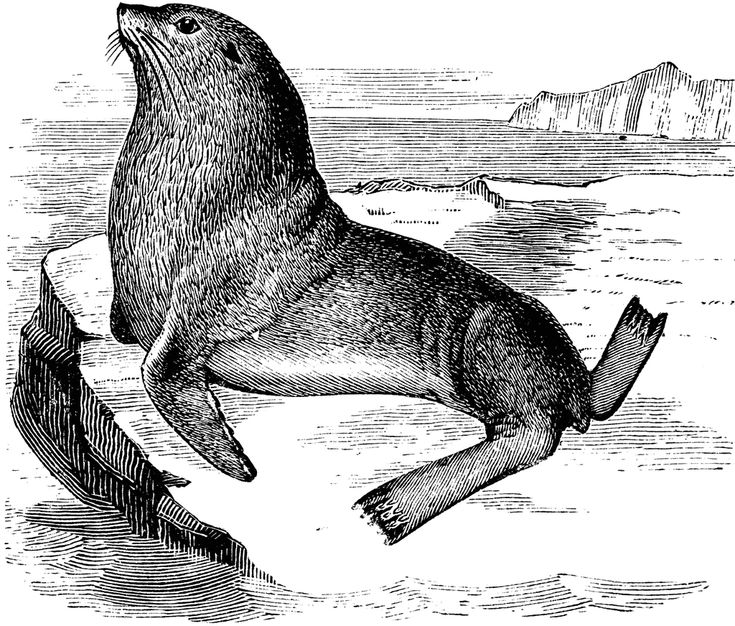 Steller Sea Lion Clipart Etc Sea Lion Sea Lion Art Lion Clipart