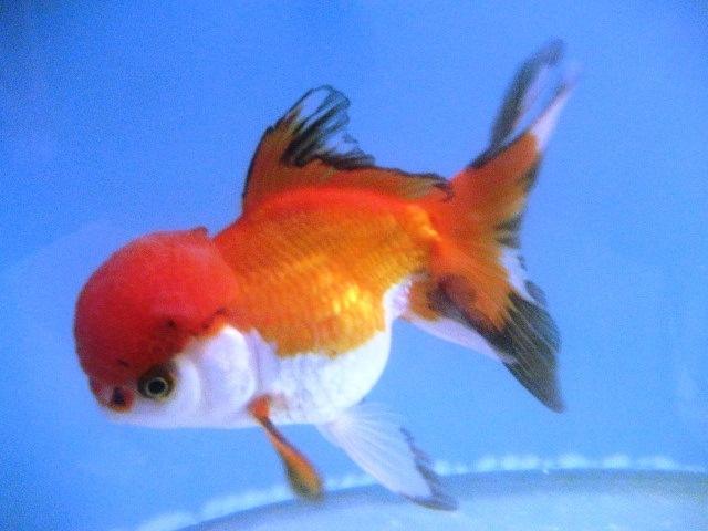 Red cap oranda goldfish fish pinterest cap d 39 agde for White cap fish