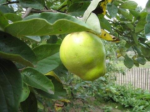 Ook op de verlanglijst van fruitbomen: Kweepeer