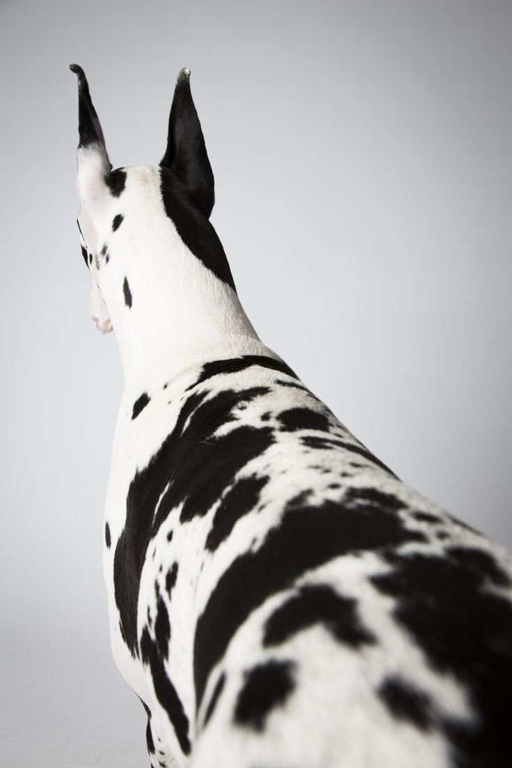 Vendetta, a female Great Dane. (I just find this funny!  Her Westminster portrait and she's not even facing the camera!)
