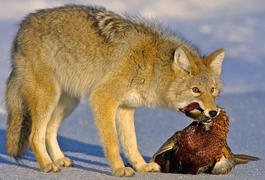 25+ Best Ideas About Coyote Hunting On Pinterest