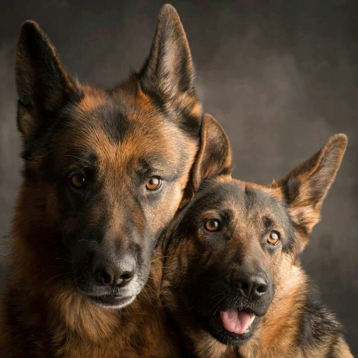 What a beautiful pair of German Shepards!
