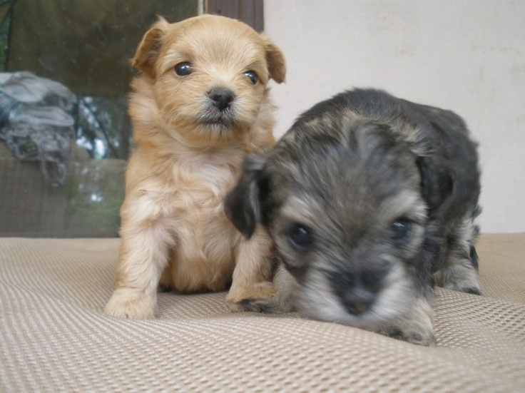 Chihuahua x poodle puppies choodles for sale in coutts