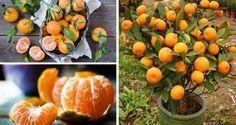 Vous n'achèterez plus de mandarines, plantez les dans un pot et vous en aurez des centaines