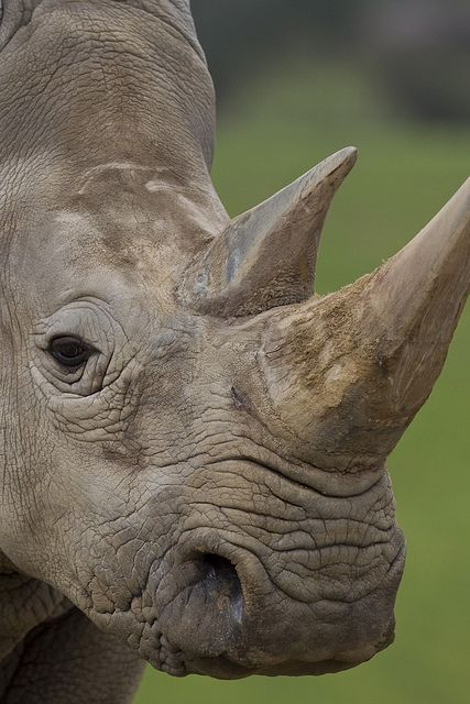 Rhino portrait by Official San Diego Zoo, via Flickr