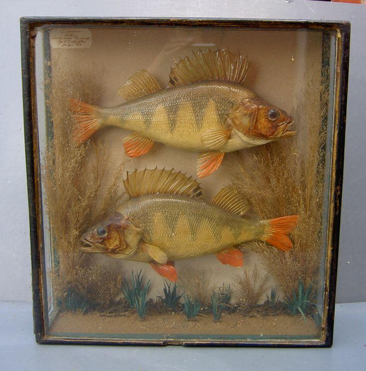 c1900 Taxidermy, fish..Perch