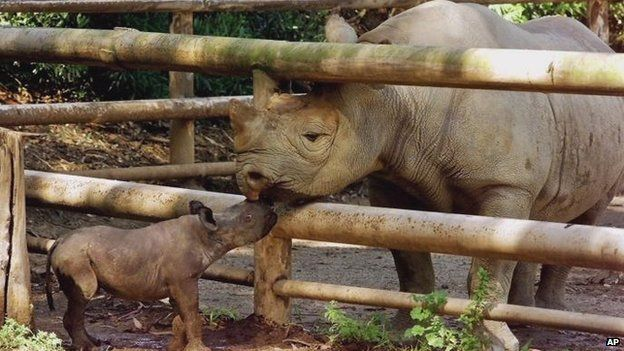 """BBC: Western Black Rhino Declared Extinct.  """"The International Union for Conservation of Nature reports that despite conservation efforts, 25% of the world's mammals are at risk of extinction."""" :("""