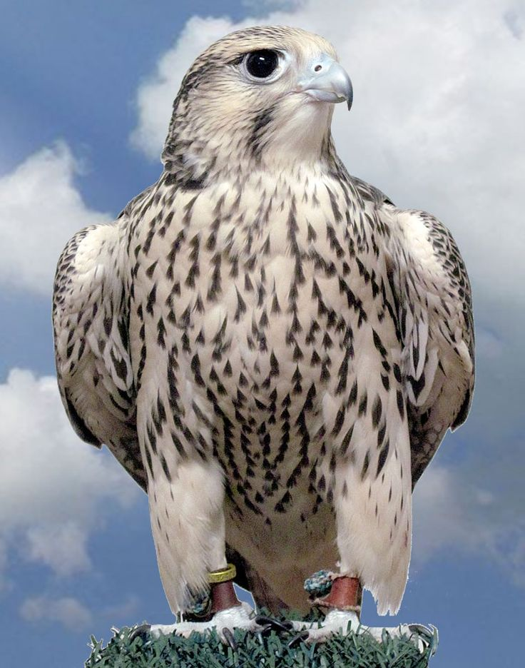 Types+of+Falcons+Birds+Species | Quapa is a mix of white gyr falcon and peregrine falcon.
