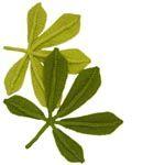 horse chestnut leaf knitting pattern