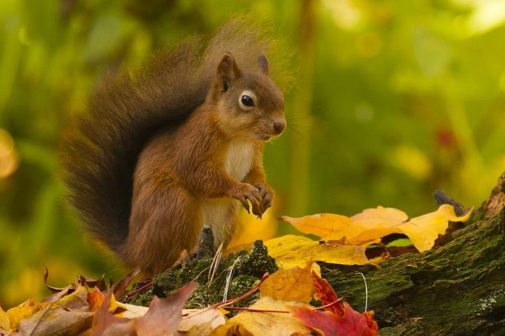 Red Squirrel with Autumn Colours by David Barnes on 500px ...