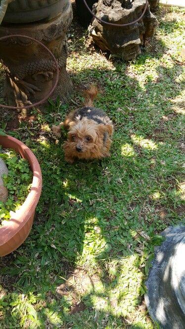 My yorkshire terrier