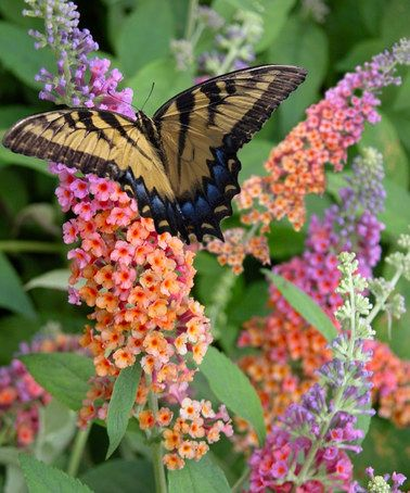 Attract butterflies and hummingbirds to your garden by adding a bright pop of color to your beds and borders! The large, cone-shaped flower clusters of 'Bicolor' have a sweet, honey-like scent that makes the plant irresistible to pollinators. Virtually pest-free and drought tolerant when established, butterfly bushes are also deer and rabbit resistant. These perennial workhorses bloom from summer to fall, keeping your garden bustling with life for months on end.