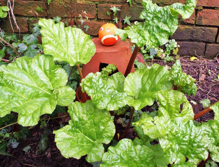 Mr Angry Orange inspects the rhubarb (3.3.14).