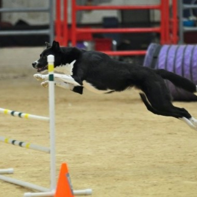 Rugby Dog Agility Show: 38 Best Images About Dogs: Dog Sports On Pinterest