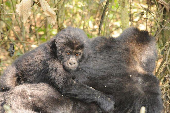World's Largest Gorilla Species at Risk of Extinction