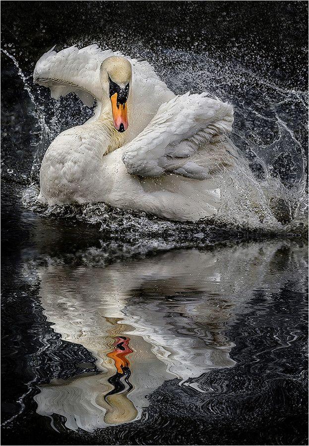 Morning Shower - by Paul Keates  - Swan