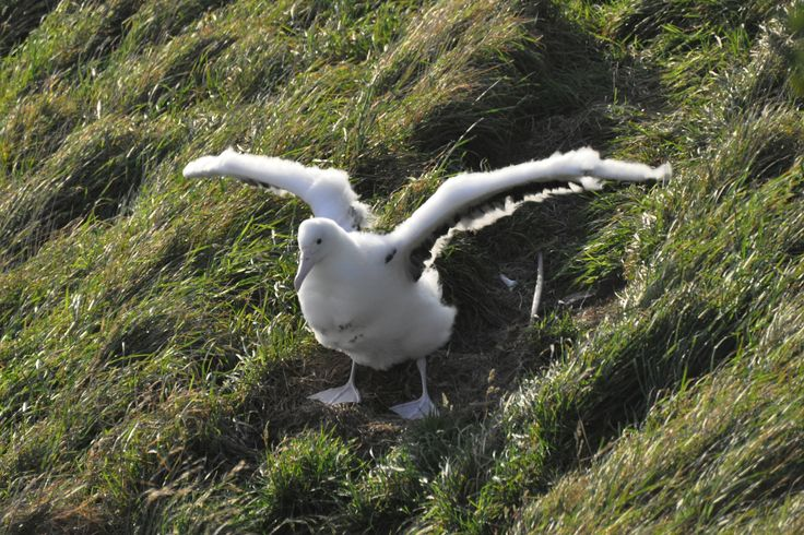 Chick testing the winds on Taiaroa Head