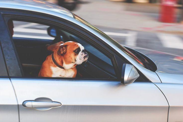 Download this free photo here www.picmelon.com #freestockphoto #freephoto #freebie /// Bulldog Riding Like a Boss | picmelon